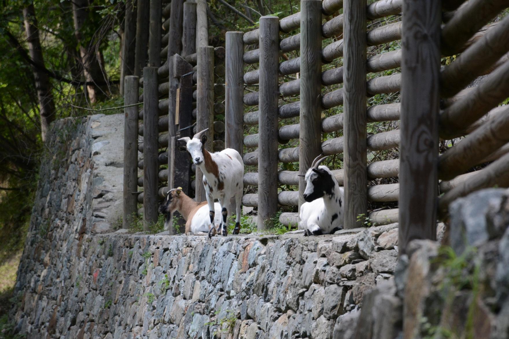 primavera-animali-valle-daosta